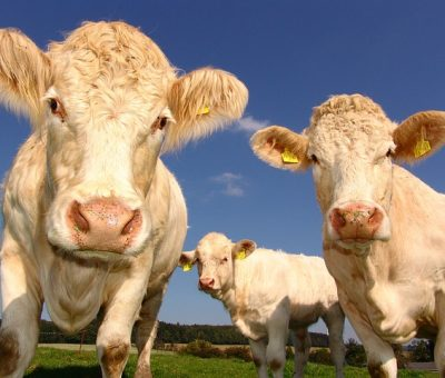écornage bovins et caprins
